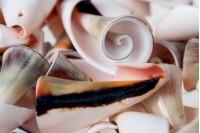 Декоративни миди - в опаковка от 25 броя